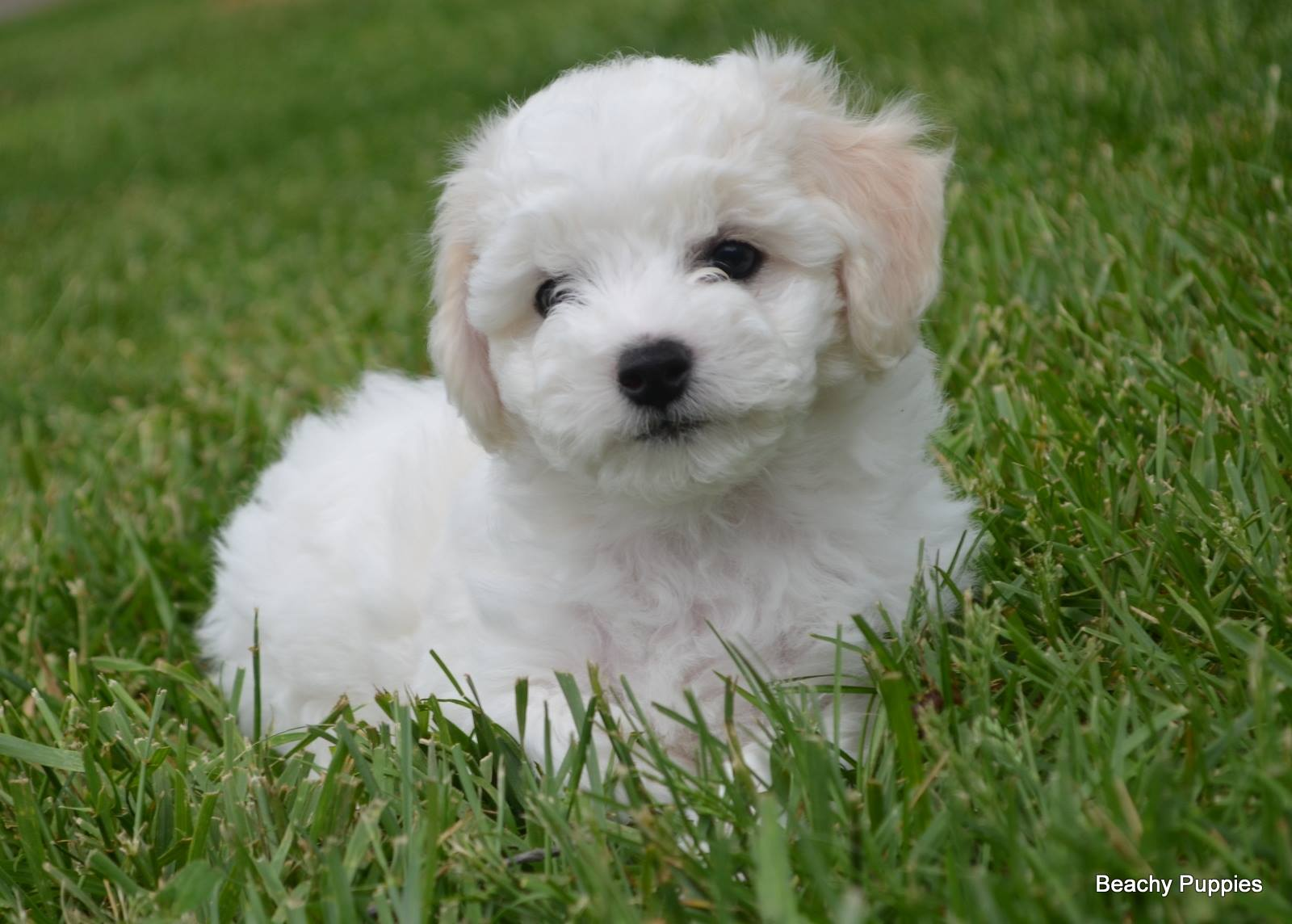 Bichon Poo Puppies For In Va - Pets Wallpapers